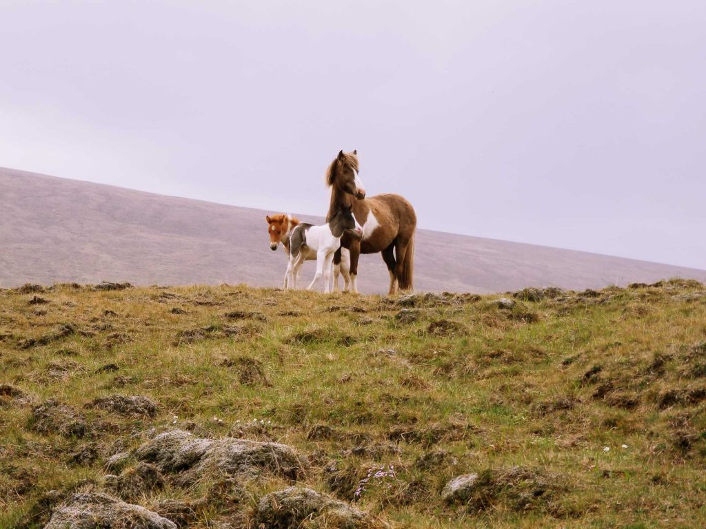 Gaedingur Island Pferd